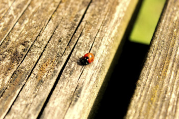 Ladybird On A Wooden Bench